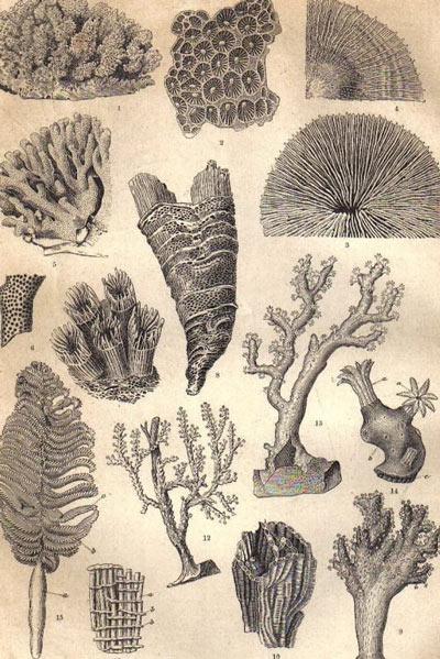 Bản khắc thép thế kỷ 19 mô tả các sinh vật biển hình thành nên các loại san hô